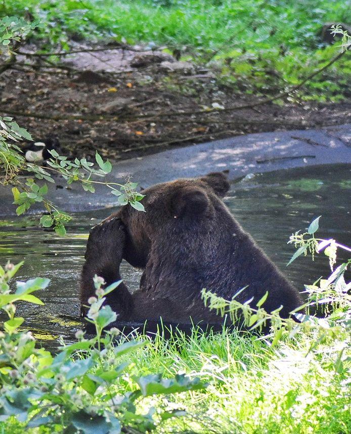 Beer zoekt verkoeling in het berenbos in Ouwehands Dierenpark.