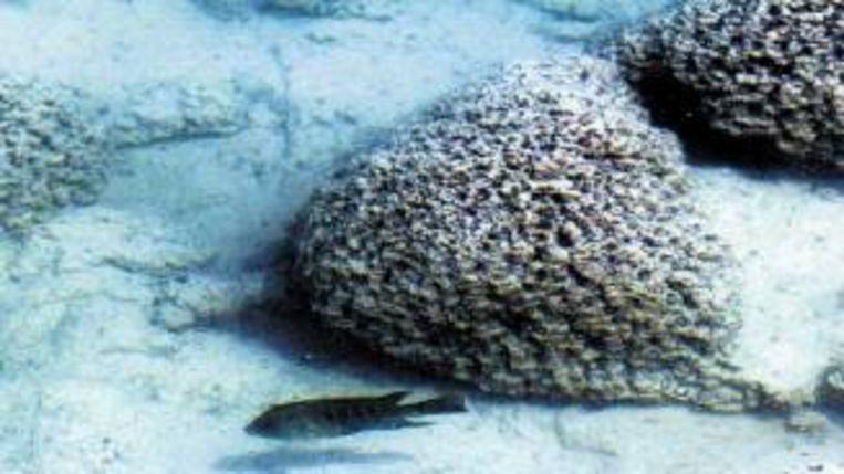 Stromatolieten, hier bij Mexico, zijn de oudste fossielen. Ze zijn ontstaan doordat bacteriën ronde plakken vormden waar ze klei in vasthielden. (FOTO REUTERS) Beeld