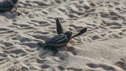Bedreigde schildpadden broeden in alle rust op stranden in Florida dankzij coronalockdown