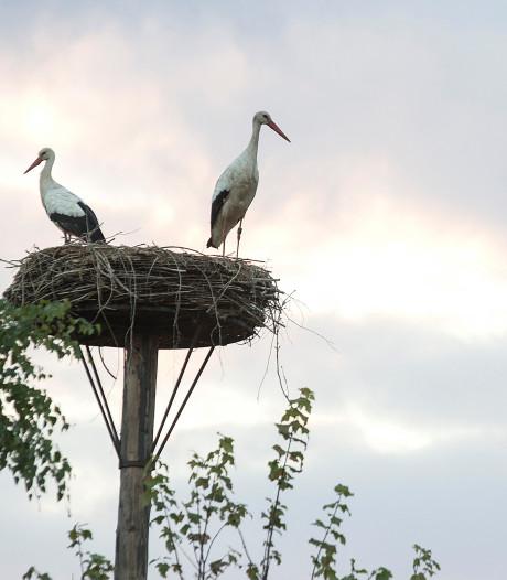 Broedende Ooievaars in Gennep live te volgen via webcams Beleef de Lente