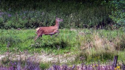 "Herten gespot op de Sulferberg in Westouter: ""Ik zag hier al meer reeën dan in de Ardennen"""