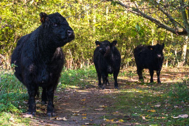De Galloway-runderen aan het Fort.