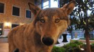 Doodgereden wolf Roger pronkstuk van expo 'wolven in Limburg'