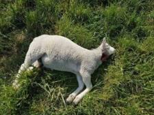 Meer dode schapen in Nederland, 'maar dit is pas het begin'