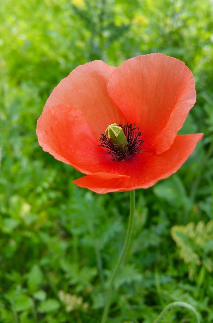 Bijna overal zie je ze bloeien en fleuren ze de omgeving op. De klaproos