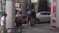 Leeuwin Rani was niet de eerste: ook deze dieren ontsnapten al uit de dierentuin