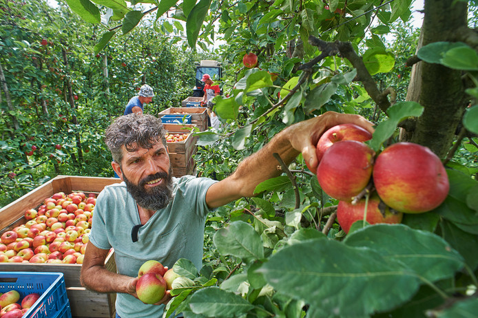 Het oogsten van Santana-appels bij biologisch fruitteler Harrie van den Elzen (voorgrond) te Zeeland.