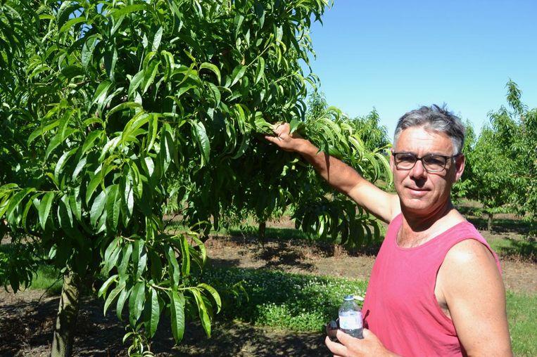 Er hangen bijna geen perziken aan de bomen.