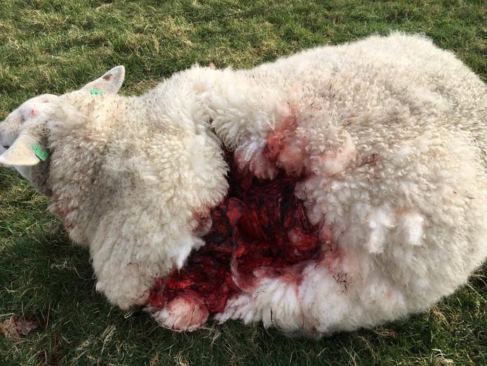 Het toegetakelde schaap dat later ingeslapen werd.