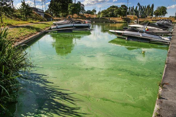 Blauwalgen kleurden het water in de jachthaven van Izegem vorig jaar groen-blauw.