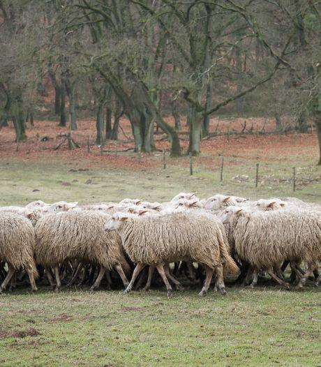 Schapen uit Loenen gaan logeren in Epe, vlakbij de wolf. Is dat niet een beetje link?