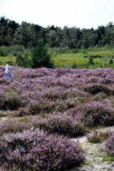Struikhei is de paarse hemel op aarde, voor de dophei is het tobben op de Kampina