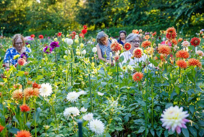 Leden van dahliavereniging Maria Middelares zijn bezig met het verwijderen van overtollige bloemknoppen.