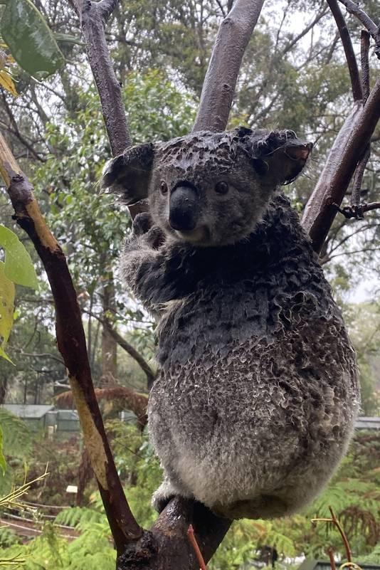 Een natgeregende koala.