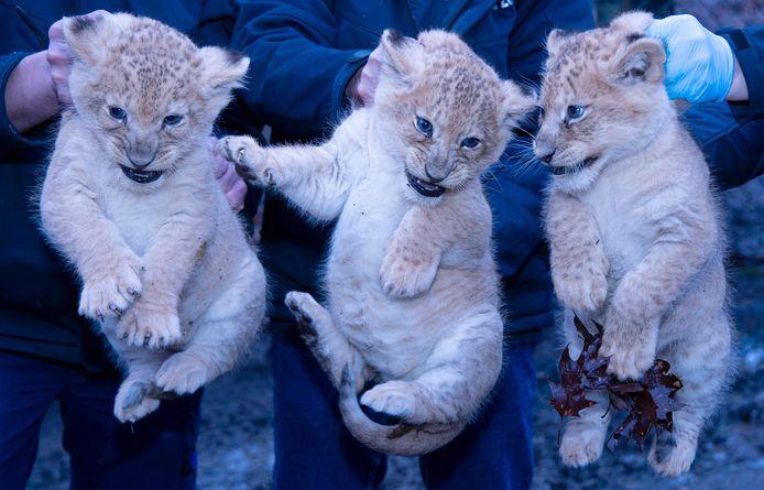 De drie leeuwenwelpjes van Burgers' Zoo die op vrijdag 8 januari voor de eerste keer zijn ingeënt tegen katten- en niesziekte.