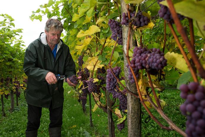 Leon Masselink in zijn wijngaard in Gendringen.
