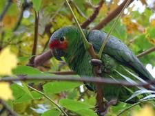 Brandweer moet papegaai Kwikkie uit Waalre opnieuw uit boom halen