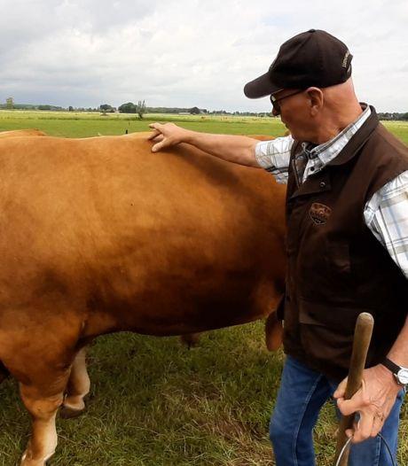 Voor je plezier met een Franse stier van 1200 kilo de wei in? Bij boer Kees Hietberg in Wijhe kan dat