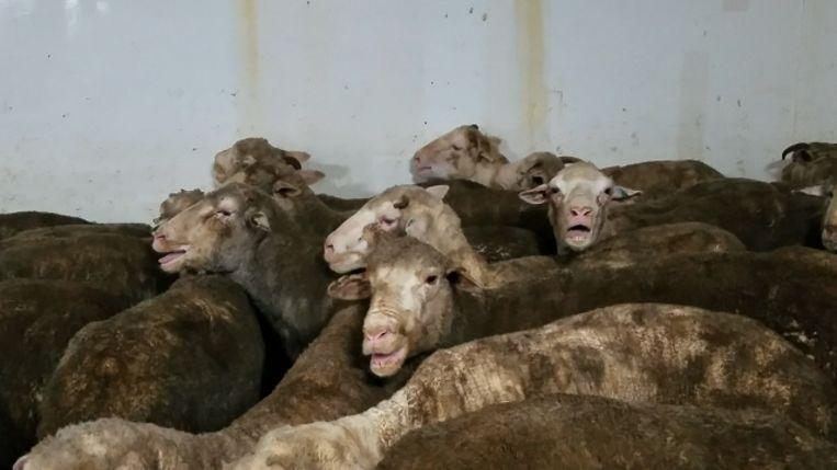 Oververhitte schapen aan boord van een veeschip Beeld 60 Minutes Australia