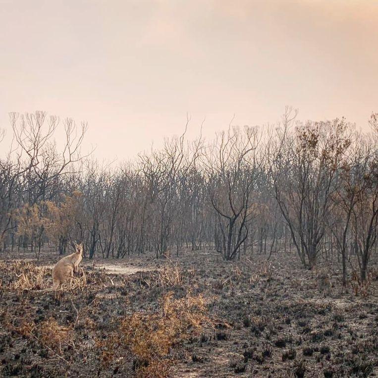 Een kangoeroe op een afgebrand stuk land in Wallabi Point, New South Wales, Australië.
