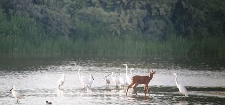 Ree zoekt koelte tussen vissende vogels