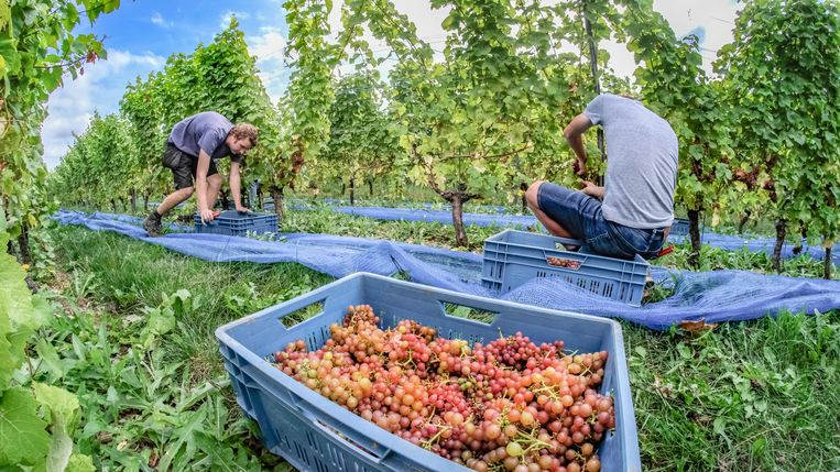 """""""Sinds de opstart van het wijnbouwbedrijf in 2004, is dit pas de tweede keer dat al in augustus wordt geplukt"""","""