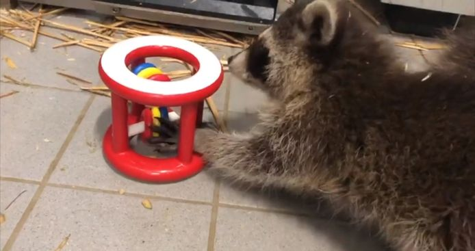 Een van de drie wasbeertjes in de weer met speelgoed in de opvang van Stichting AAP.