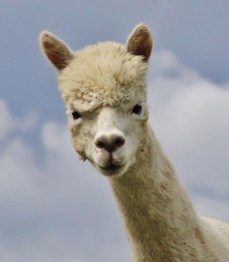 Kinderboerderij in Groningen verwelkomt pasgeboren alpaca