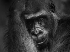 Werners wereldplaat van gorilla Burgers' Zoo wint prijs National Geographic