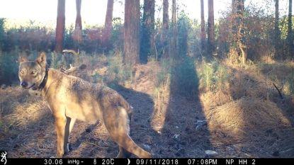 Er zat zeker een vierde wolf in Limburg: uitwerpselen gevonden in Nationaal Park Hoge Kempen