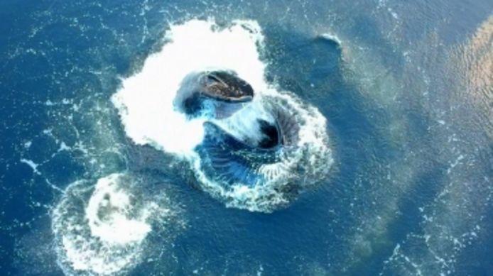 Une énorme baleine à bosse saute à travers un anneau de bulles en Alaska.