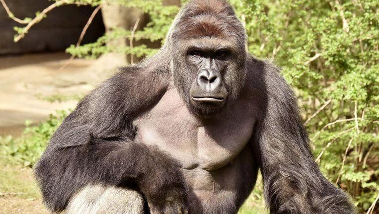 Archieffoto: gorilla Harambe. Beeld REUTERS