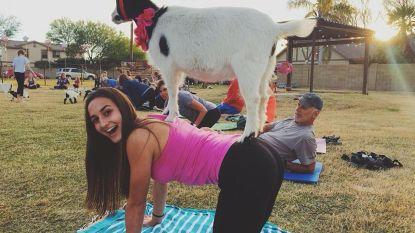 Vooruit met de geit op de yogamat