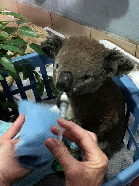 Koala Anwen krijgt vocht toegediend in het ziekenhuis.