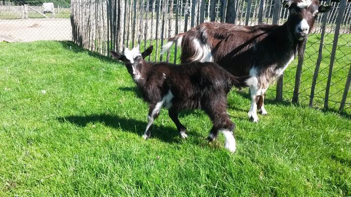 Op het dierendagfeest van kinderboerderij De Hofte kunnen de jonge bezoekers onder meer geit Gerrit borstelen.