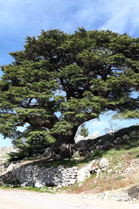 Hoelang bestaat de Bijbelboom nog?