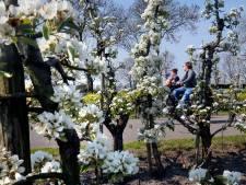 Bloesem zet fruitbomen in bloei