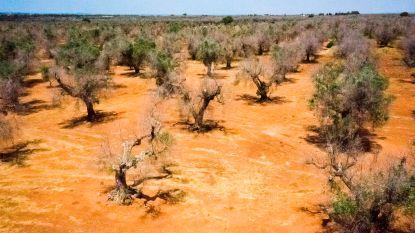 Schadelijke bacterie treft nu ook olijfbomen in Frankrijk