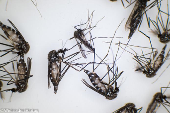 Aziatische bosmuggen
