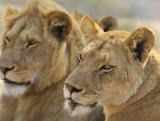 Troep van zeven leeuwen gedood na ontsnapping uit nationaal park in Zuid-Afrika