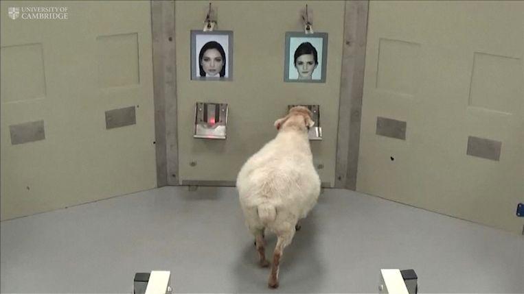 Dit schaap kiest het gezicht van Emma Watson uit twee foto's.