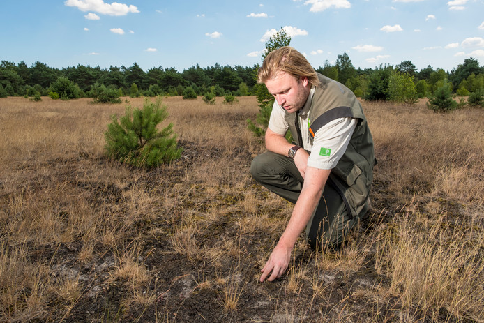 In plaats van een bloeiend heidegebied is de Veluwe momenteel een dorre vlakte, toont  boswachter Lennard Jasper.