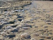 Duizenden dode kwallen op Vlissingse strand: 'Ze zijn erg vroeg dit jaar'