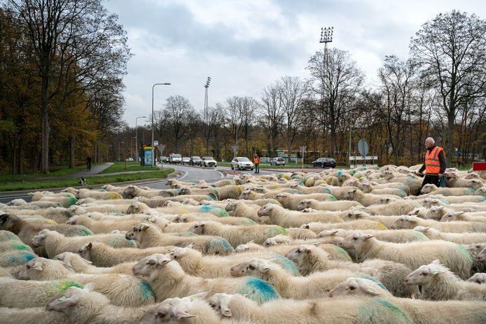 Clemens Oude Groeniger van Grebbeveld Schapen Enzo uit Bennekom neemt zijn dieren mee naar de Renkumse heide.