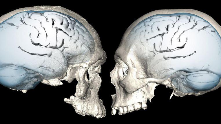Links de 300 duizend jaar oude schedel, rechts een 'moderne' Homo sapiens. Beeld reuters