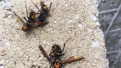 'Monsterwesp' Aziatische hoornaar duikt op in Vlaamse Ardennen