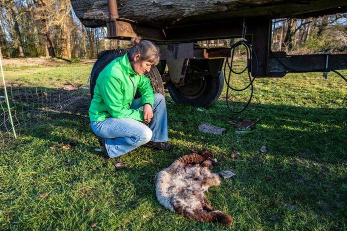 Schaapsherder Marianne Gaspersz bij de achtergelaten vacht van een lam. Voor de tweede keer in korte tijd werden loslopende schapen in de regio illegaal op ogenschijnlijk professionele wijze afgeslacht.