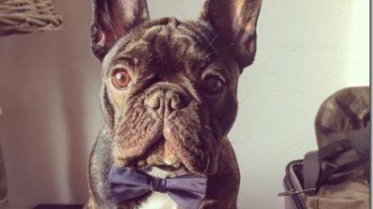 """Marina zoekt al drie weken naar vermiste Franse bulldog: """"Ik heb er alles voor over om Scotch terug te krijgen"""""""
