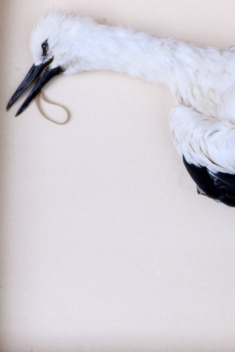 Jonge ooievaar met halve kilo elastiek in maag in collectie van Natuurhistorisch Museum