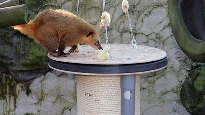 Opvallend eindwerk dierenverzorgers in spe: van speelbal voor tijger tot schommel voor neusbeer